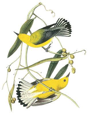 Warbler Painting - Prothonotary Warbler by John James Audubon