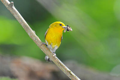 Prothonotary Warbler Mouth Full Original by Alan Lenk