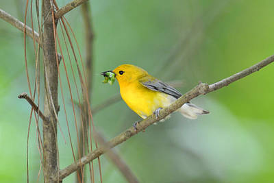 Prothonotary Warbler With Worm Original by Alan Lenk