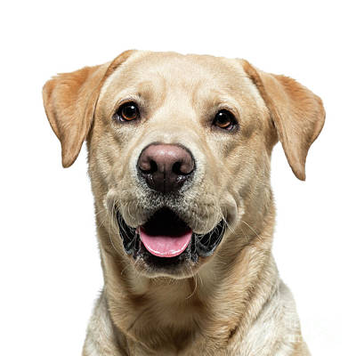 Photograph - Protred Of A Yellow Labrador by Gunnar Orn Arnason