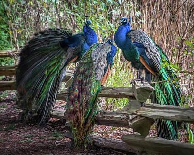 Proud As Three Peacocks Art Print by Keith Boone