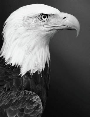 Photograph - Proud Bald Eagle Black And White by Georgiana Romanovna