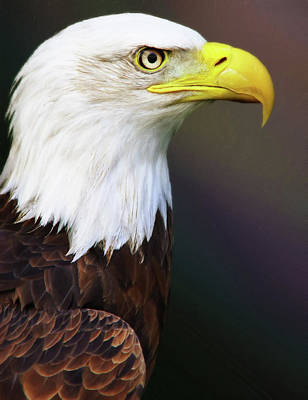 Photograph - Proud Bald Eagle by Georgiana Romanovna