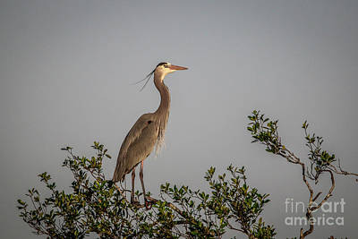 Photograph - Proud Blue Heron by Tom Claud