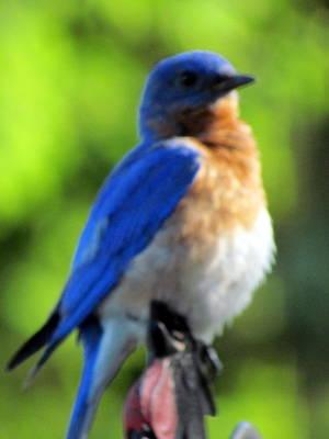 Proud Bluebird Out Kitchen Window Print by Betty Pieper