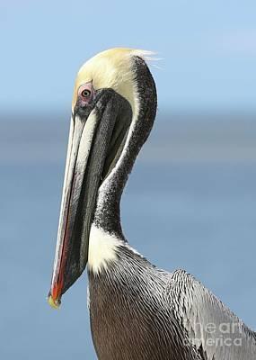 Photograph - Proud Brown Pelican by Carol Groenen