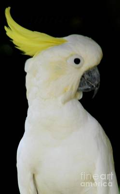 Proud Cockatoo Art Print