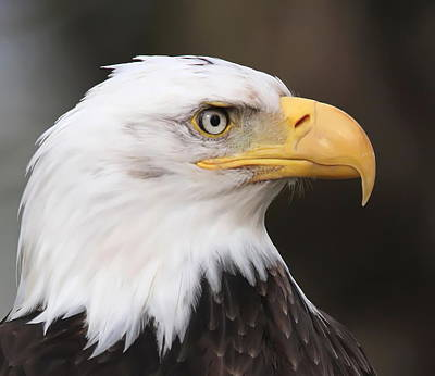 Proud Eagle Art Print by Angie Vogel