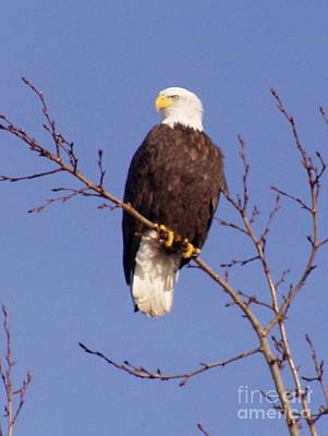 Photograph - Proud Eagle by Sheila J Hall