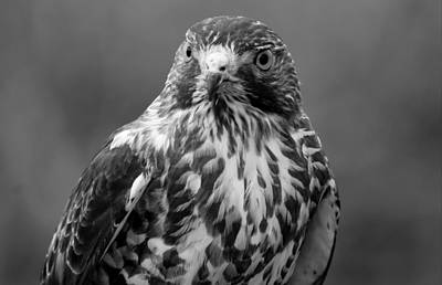 Photograph - Proud Hawk by Richard Bryce and Family