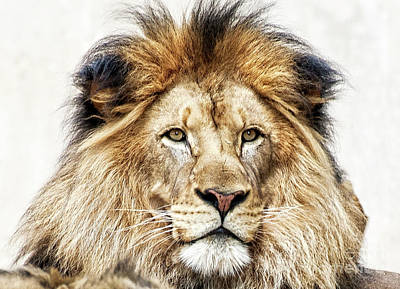 Photograph - Proud Lion by Scott Kemper