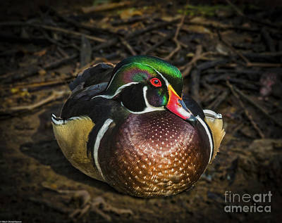 Photograph - Proud Little Wood Duck by Mitch Shindelbower