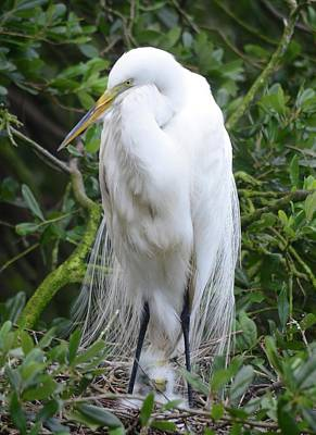 Photograph - Proud Mama Egret by Richard Bryce and Family