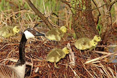 Photograph - Proud Mama Goose by Debbie Oppermann