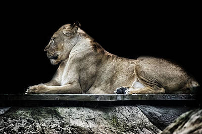 Roar Photograph - Proud by Martin Newman