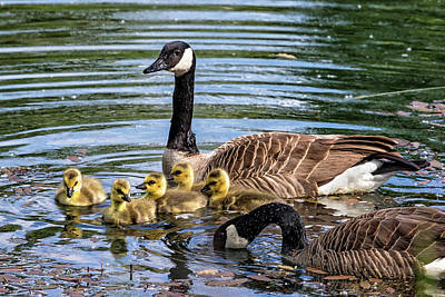 Photograph - Proud Parents And Their Five Goslings by Belinda Greb