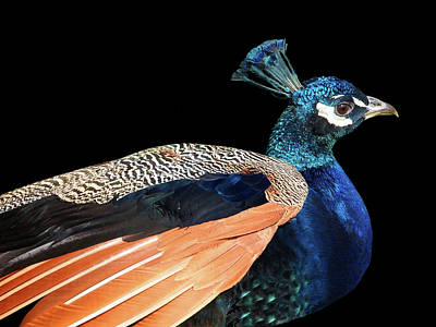 Photograph - Proud Peacock by Gill Billington