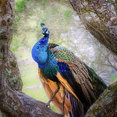Photograph - Proud Peacock by Shuwen Wu