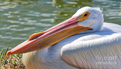 Photograph - Proud White Pelican by Carol Groenen