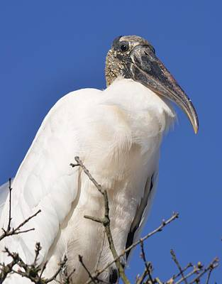 Photograph - Proud Wood Stork  by Richard Bryce and Family