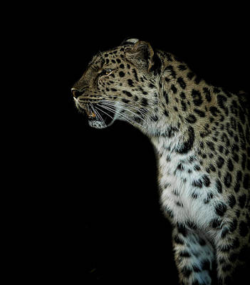 Leopard Wall Art - Photograph - Prowl by Paul Neville