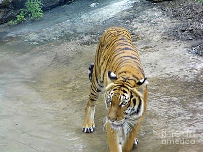 Photograph - Prowling Tiger by D Hackett