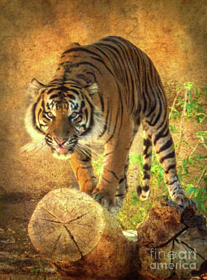 Photograph - Prowling Tiger by Scott Parker