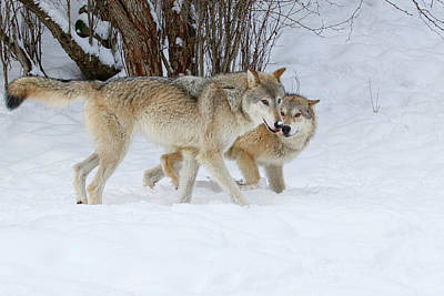 Photograph - Prowling Wolves by Steve McKinzie