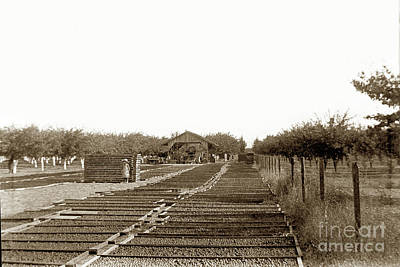 Photograph - Prune Drying Yard In Santa Clara County, California 1889 by California Views Mr Pat Hathaway Archives