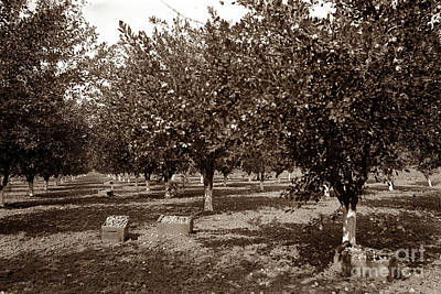 Photograph - Prune Harvesting In Gilroy California 1898 by California Views Archives Mr Pat Hathaway Archives
