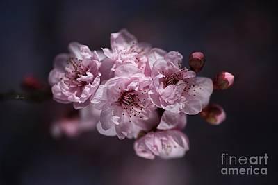 Prunus A Pink Spring Art Print by Joy Watson