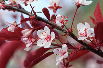 Photograph - Prunus Cistena by Rodger Werner
