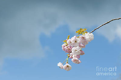 Prunus Ichiyo Blossom  Art Print by Tim Gainey