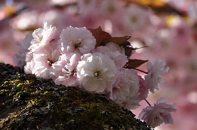 Photograph - Prunus Serrulata Shirofugen Cherry Blossoms by Martin Stankewitz