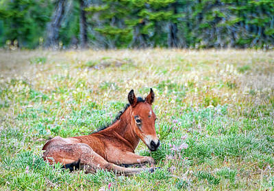 Photograph - Pryor Mountaina Foal by Gary Beeler