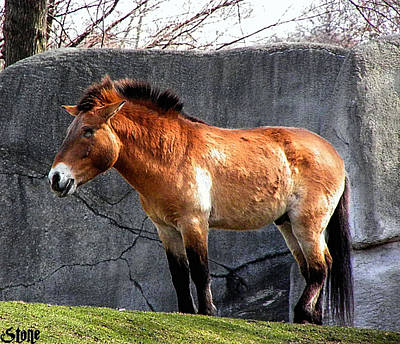 Photograph - Przewalskis Horse by September  Stone