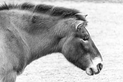 Photograph - Przewalski's Horse by SR Green