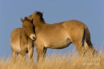 Przewalskis Horses Grooming Art Print