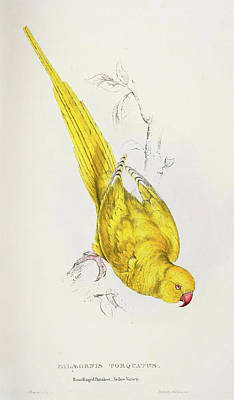 Parakeet Mixed Media - Psittacula Krameri Palaeornis Torquatus Roseringed Parrakeet Yellow Variety by Edward Lear