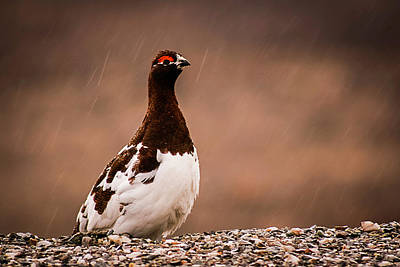 Photograph - Ptarmigan Denali National Park by Benjamin Dahl