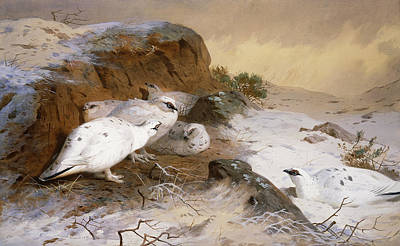Birds In Winter Wall Art - Painting - Ptarmigan In The Snow by Archibald Thorburn