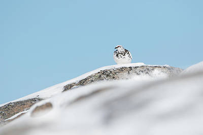 Photograph - Ptarmigan On Lookout by Peter Walkden