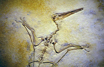 Dinosaur Photograph - Pterodactyl Fossil by Buddy Mays