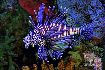 Photograph - Pterois by Savannah Gibbs