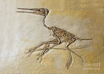Photograph - Pterosaur Fossil by Millard H. Sharp