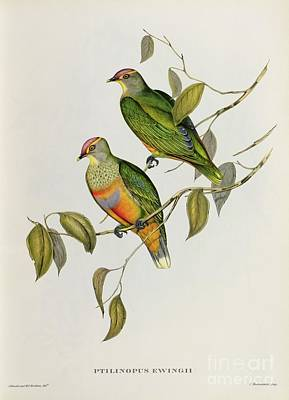 Lovebird Painting - Ptilinopus Ewingii by John Gould