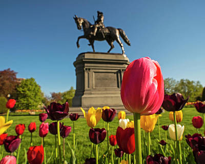 Photograph - Public Garden Red Tulip Boston Ma by Toby McGuire