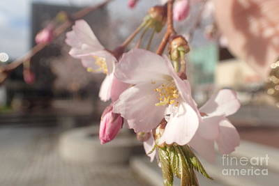Photograph - Public Square Blossoms by Christina Verdgeline