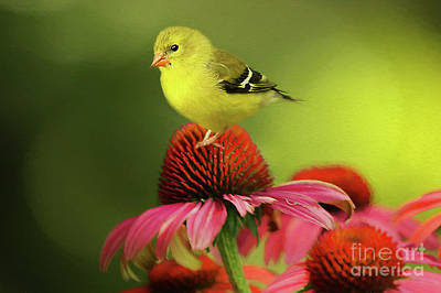 Puff Ball Of A Goldfinch  Art Print