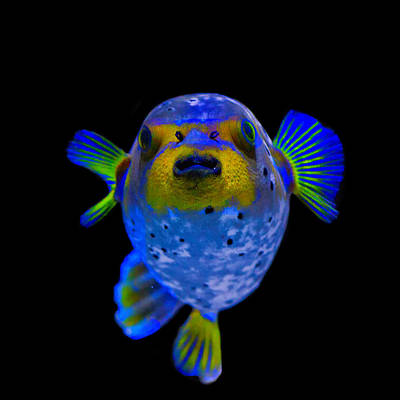 Puffer Fish Photograph - Puff Of Blue by John Absher